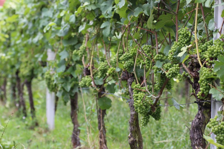 Pinot Meunier in early August 2016