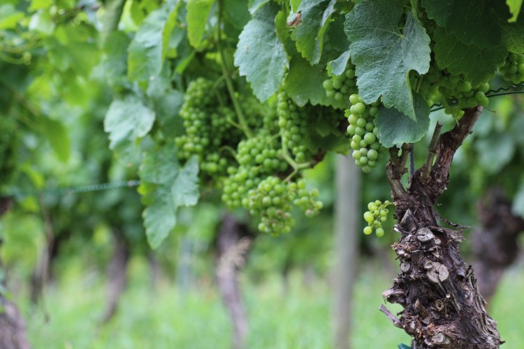 Silvaner grapes early August 2016