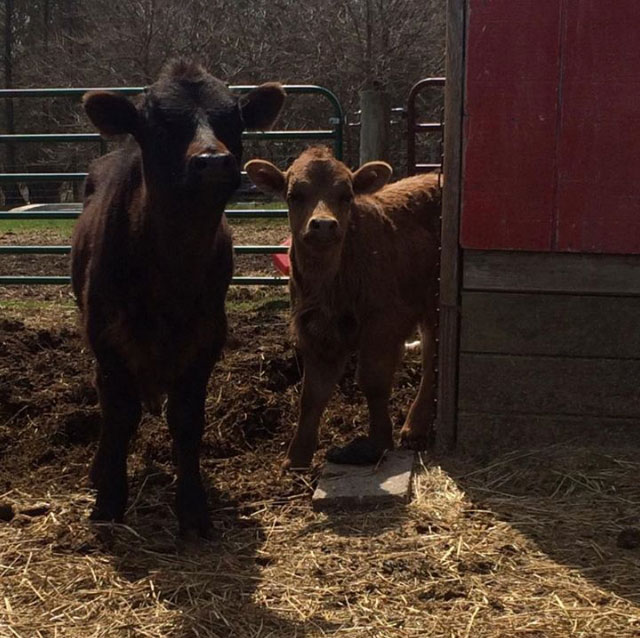 Calves on a farm.