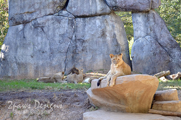 NC Zoo: Lions Oct 2015