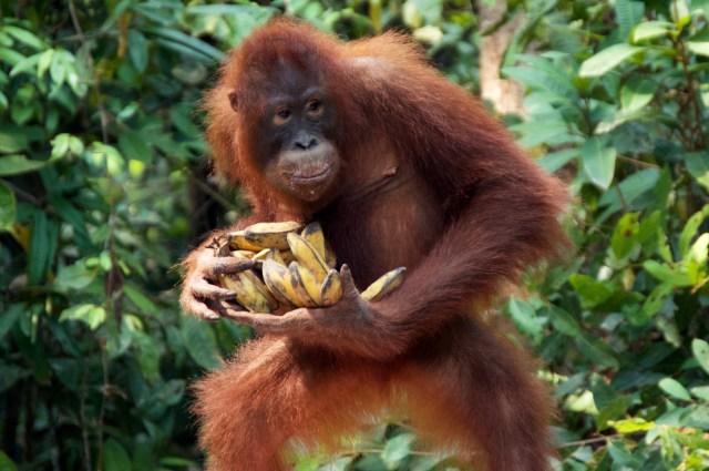 Greedy orangutan.
