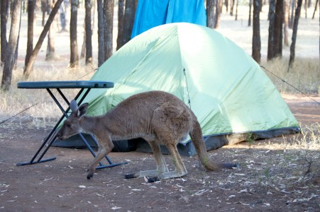 Woke up one morning and there was a roo at our campsite...