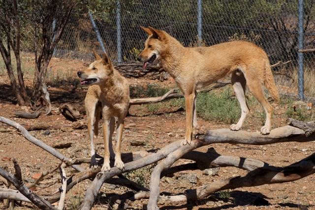 Dingoes!