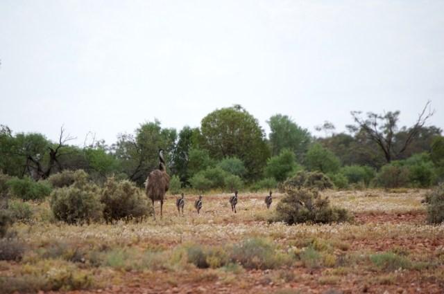 Emu family.
