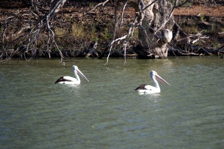Pelicans on the billabong.