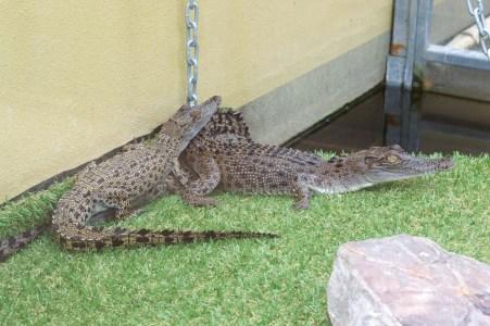 Baby crocodiles.