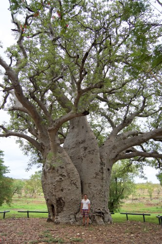 The oldest boab tree in captivity.