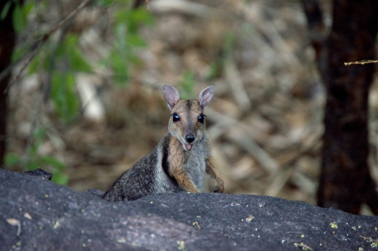 Rock wallaby!