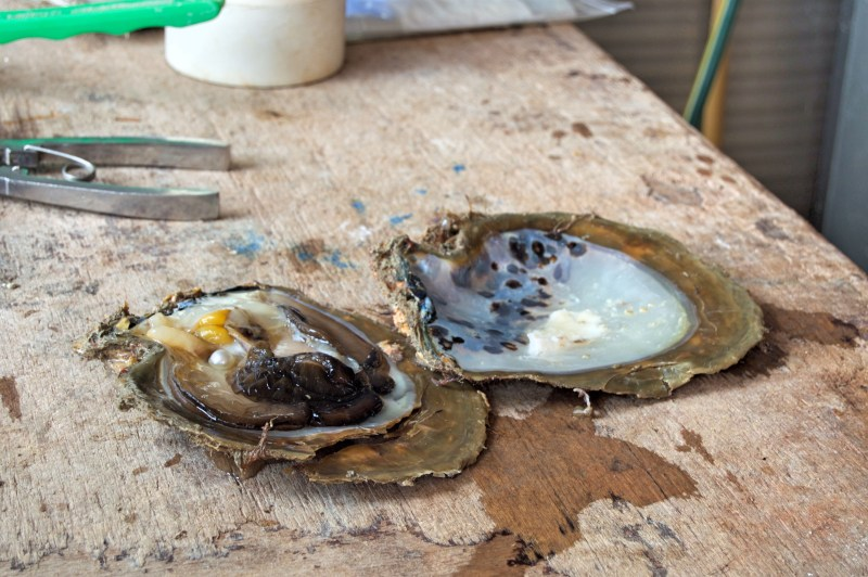 A pearl just extracted from the oyster.