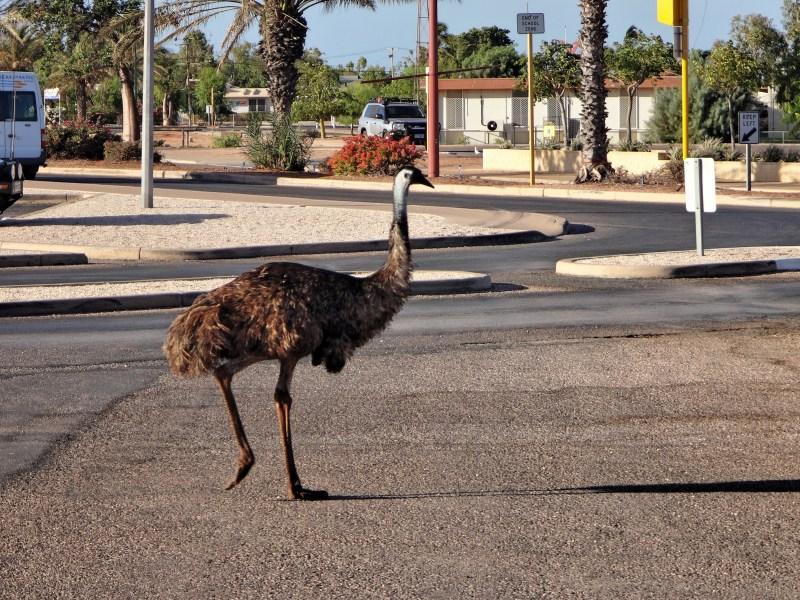 Emu crossing the road.