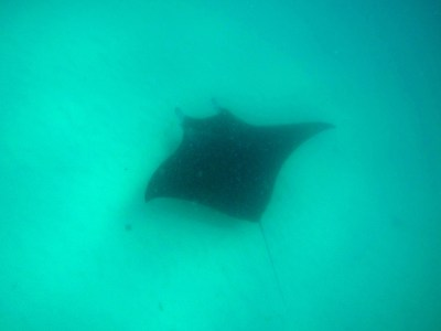 Another manta!