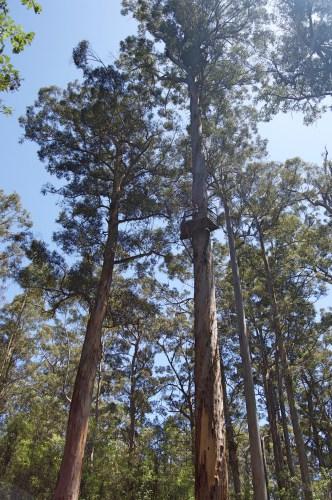 Climbing tree #1: the Dave Evans Bicentennial Tree.