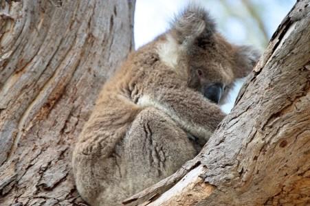 Grumpy koala haha.