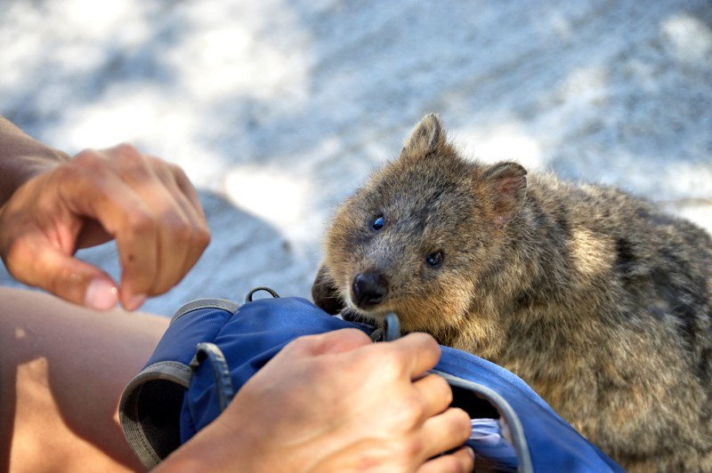 Very curious Quokka.