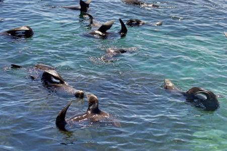 Many sleeping fur seals!