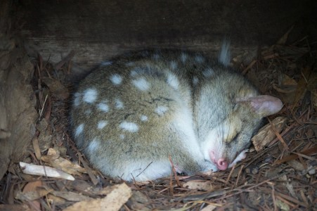Sleeping quoll.
