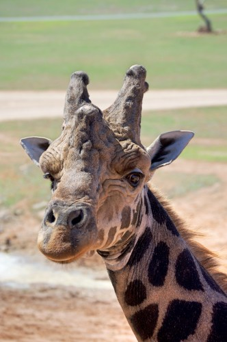 Old man alpha giraffe.