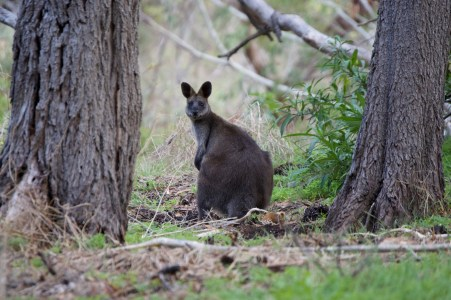 Swamp wallaby.