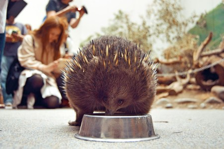 Echidna snack time!