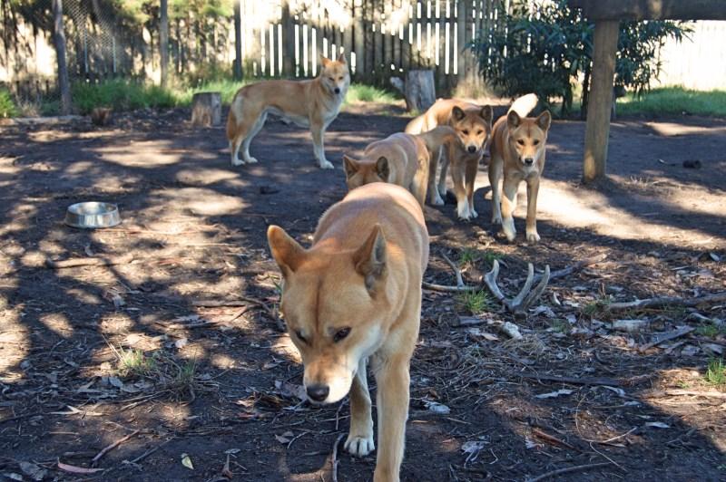 Adorable dingoes!