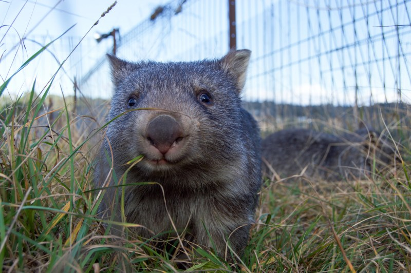 Wombat snacktime!