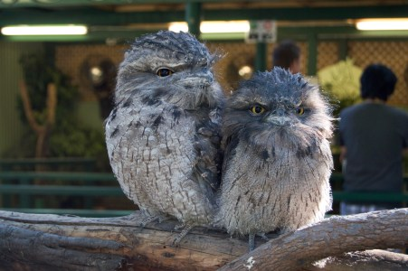 Tawny frogmouths!