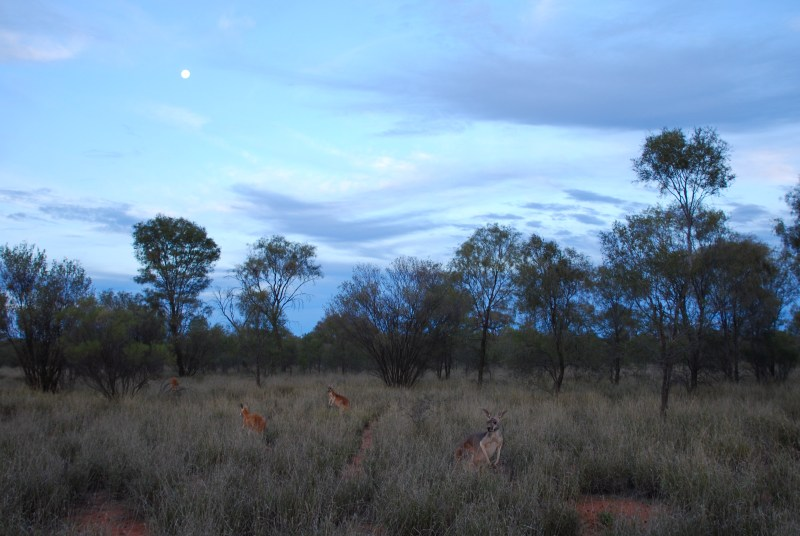 Kangaroo sunset.