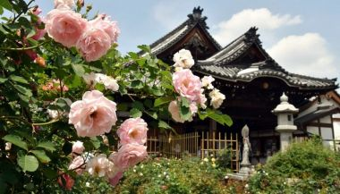 Ofusa Kannon Rose Festival/ Nara @ Ofusa Kannon Temple | Kashihara-shi | Nara-ken | Japan
