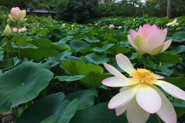 kyoto botanic garden lotus