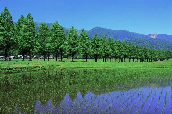 metasequoia summer
