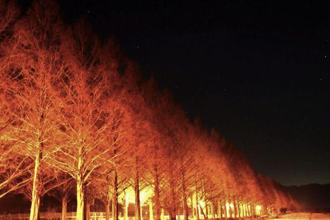 metasequoia night view