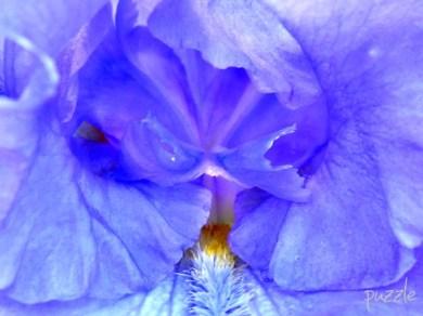 01062008 Bartiris blauviolett 01