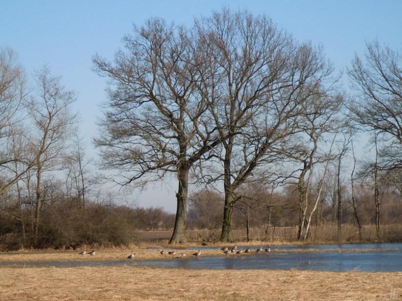 DSCN2267 2011-03-08 Reddebeitz-Bösel Graugänse