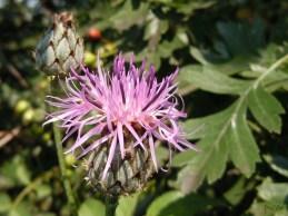2010-07-01NDnami Flockenblume 159