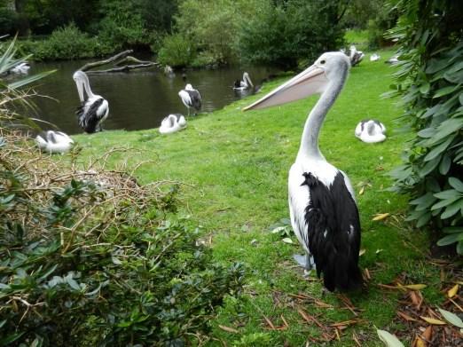 2011-07-28 Vogelpark Walsrode 01-256 Brillenpelikane