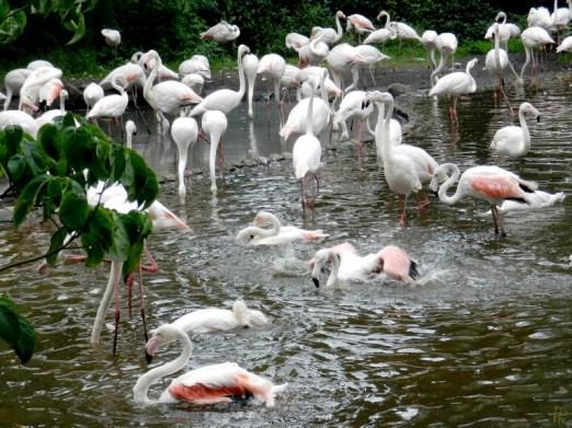 2011-07-28 Vogelpark Walsrode 01-261 Flamingos