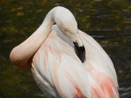 2011-07-28 Vogelpark Walsrode 06-093 Flamingo