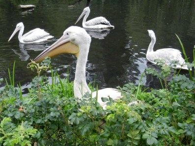 2011-07-28 Vogelpark Walsrode 13-210 Pelikane