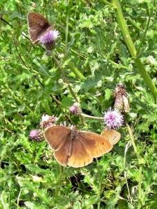 h2012-07-16 LüchowSss 352 BraunerWaldvogel_Aphantopus-hyperantus+Acker-Kratzdistel_Cirsium-arvense