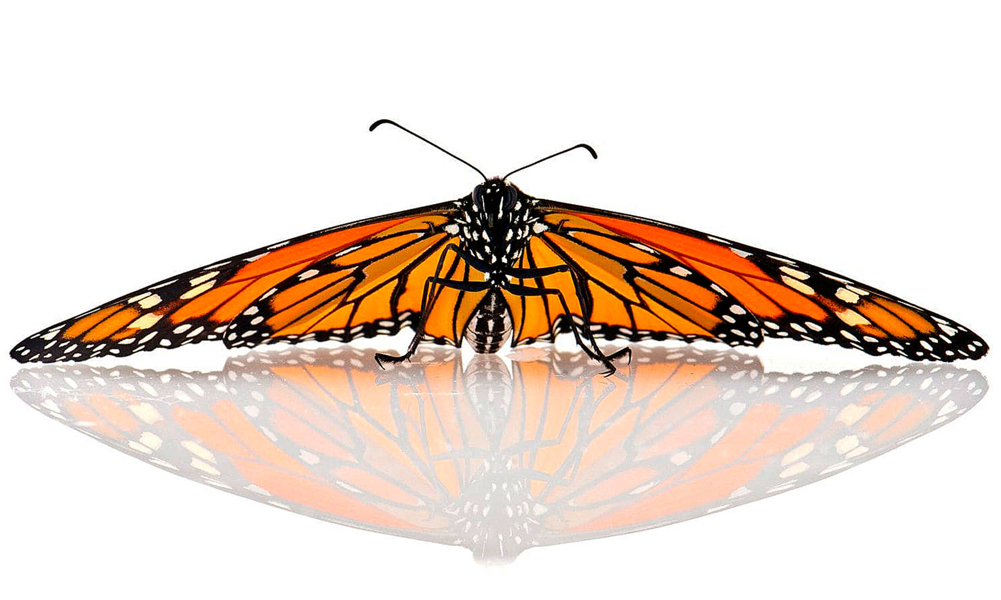 Monarch Butterfly Migration Part Relay Race Full Of