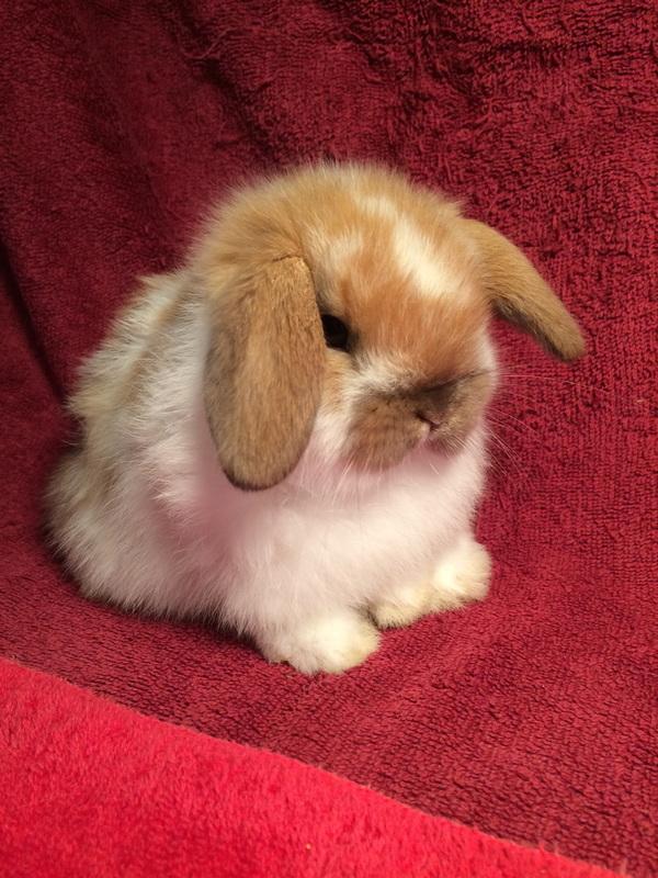 2 Baby Rabbits For Sale : rabbits, Rabbitry