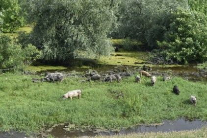 Pigs being taken for a feed and wallow