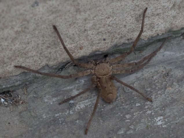 7-11 Pavement Spider - 7-8cm across