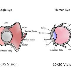 human eye vs eagle eye [ 1200 x 800 Pixel ]