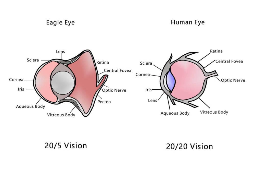 medium resolution of human eye vs eagle eye
