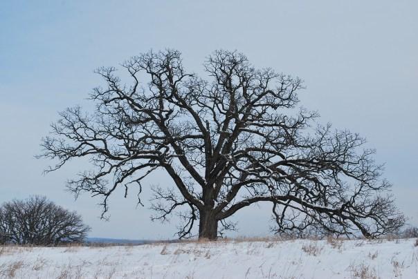 oak-tree-winter_bachy