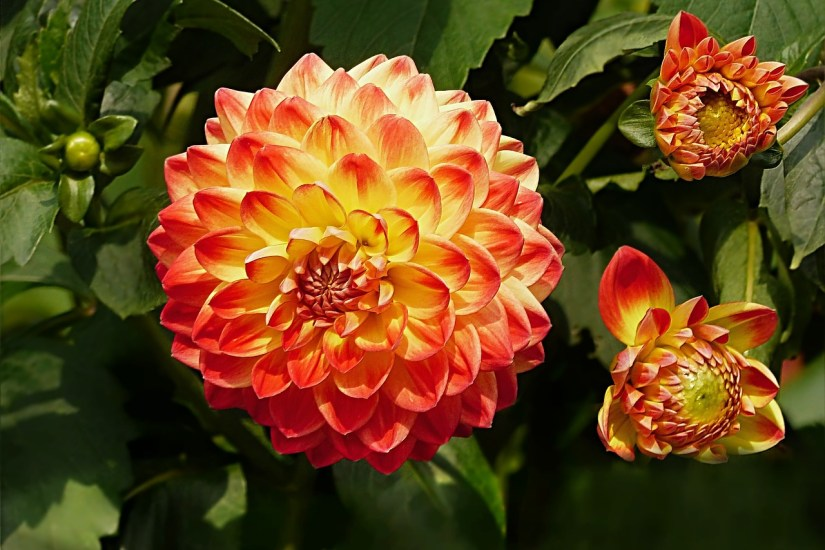 dahlia orange_Oldiefan