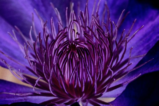 clematis-purple_cocparisienne