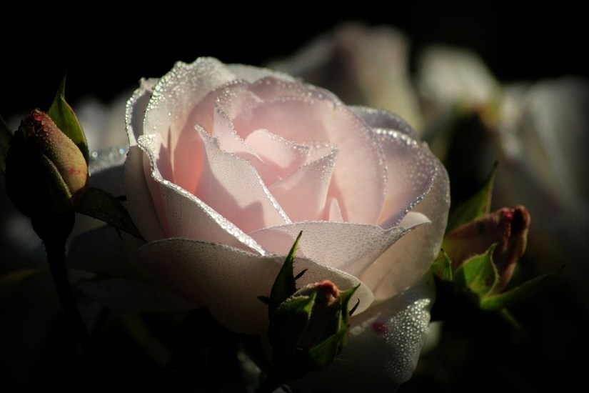 Pink rose by Miss_Orphelia via pixabay