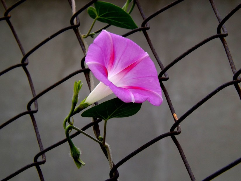 a pink morning glory flower on a chainlink fence